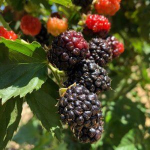 Berries COH